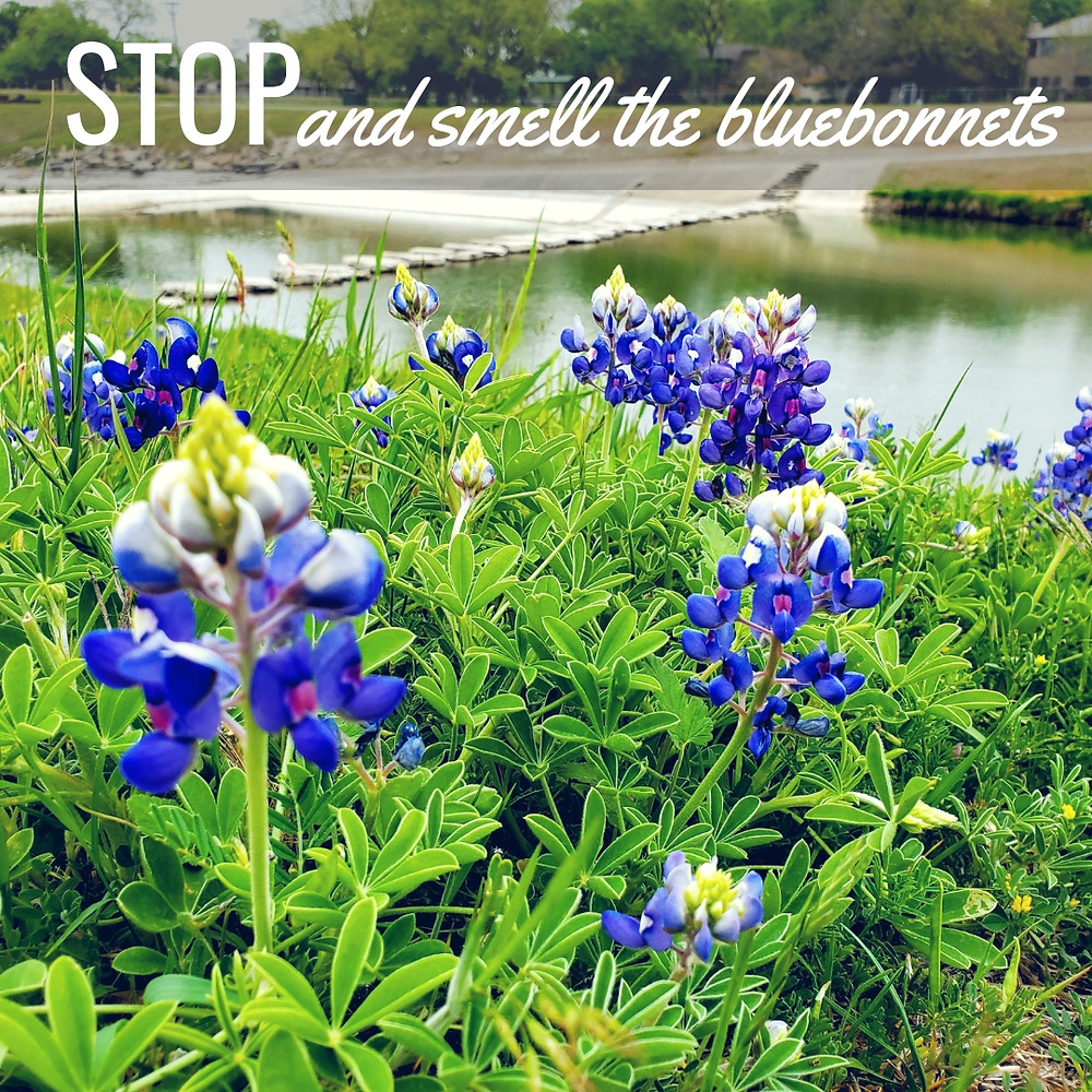 bluebonnets Fort Worth