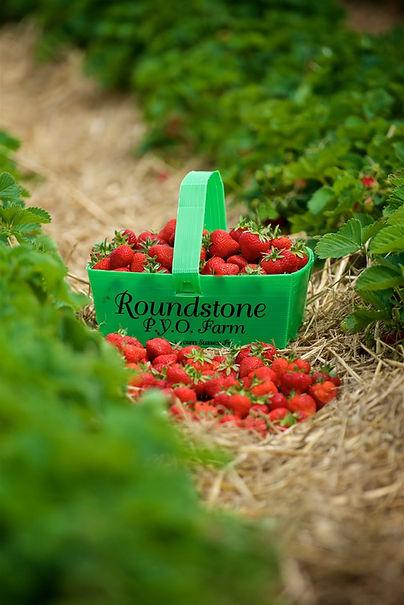 roundstone-farm-PYO-angmering-june-2018-