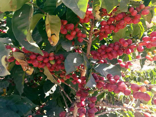 Hamdani Coffee