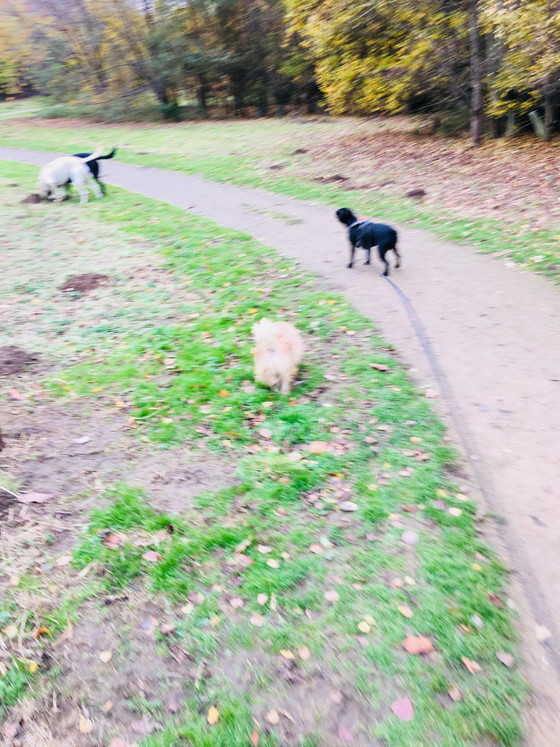 In Willian Walking with Pippa, Noah, Seb and Max 😂😍🚶🏻♀️🐶