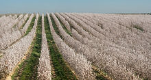 almond-blossom-4884500_1920_edited.jpg