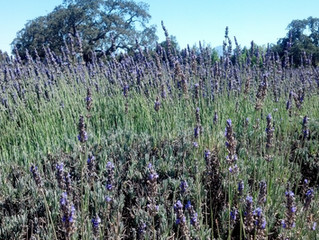 Lavender in Bloom on the Bike Tour
