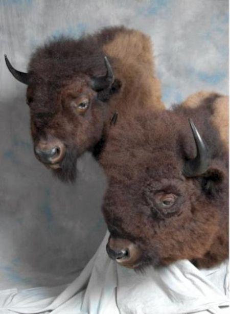263-two-buffalo-shoulder-mnts