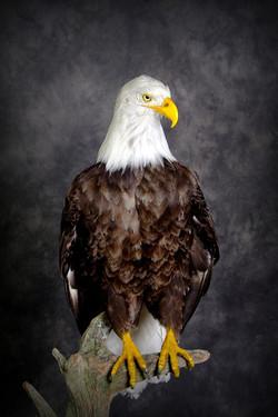 4 American Bald Eagle