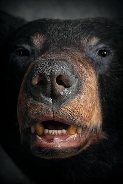 54 American Black Bear