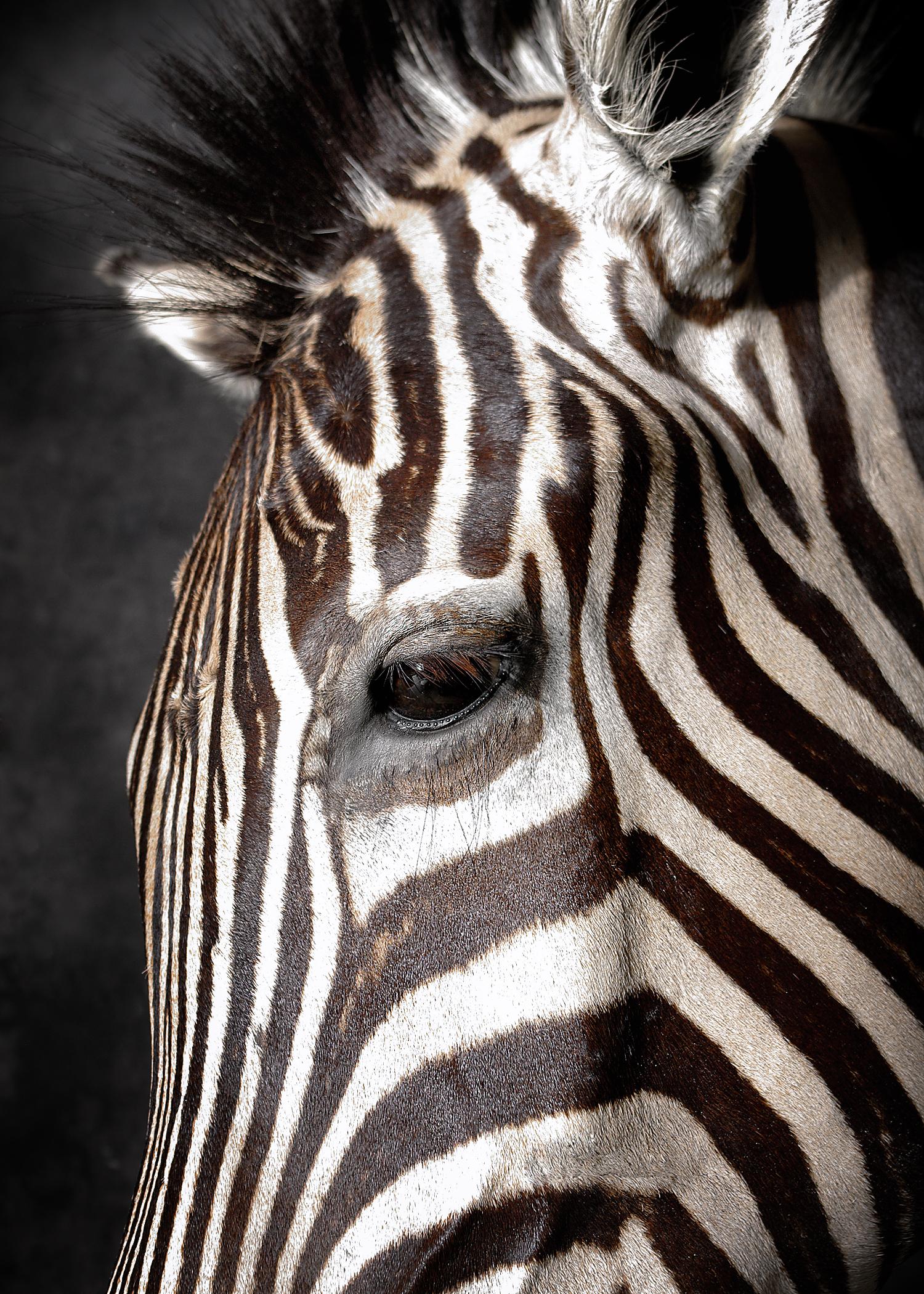 47 Zebra