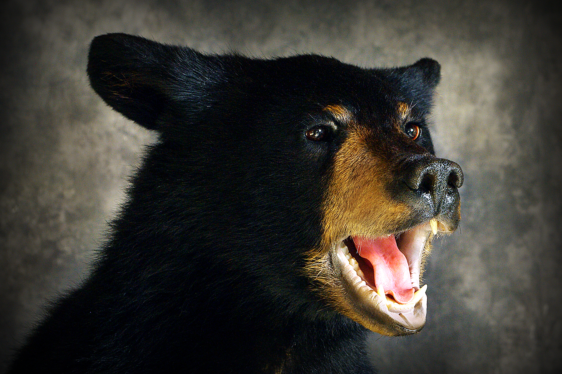 50 American Black Bear