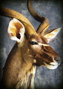 14 Kudu