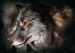 28 Black Wolf