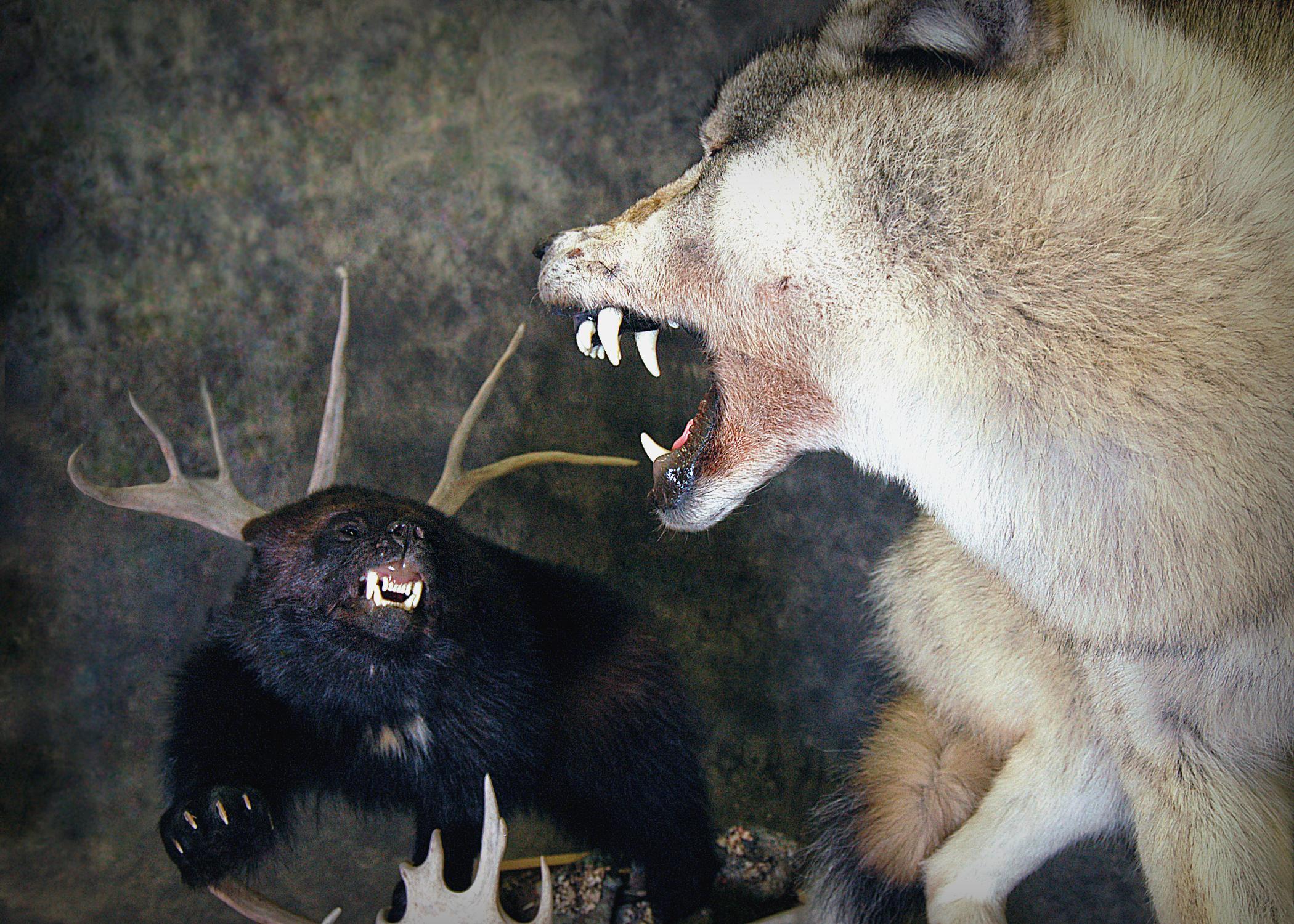 Wolf | Wolverine