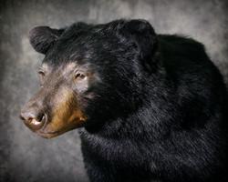 19 Black Bear