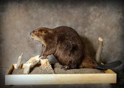 49 Beaver