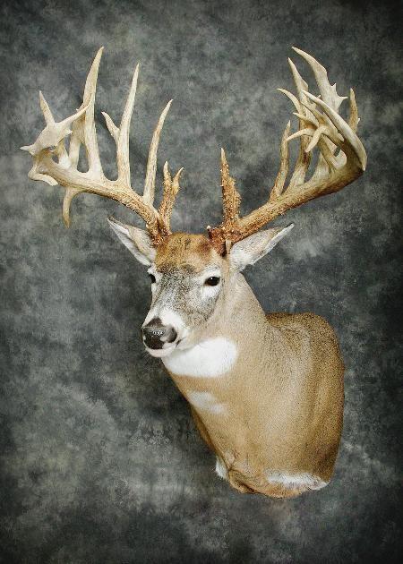 29-amish-buck-clos-up