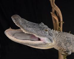 4 Alligator