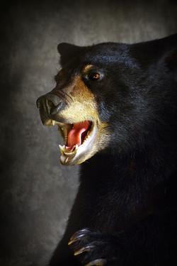 51 American Black Bear