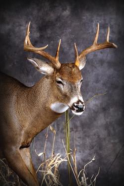 17 Whitetail Deer