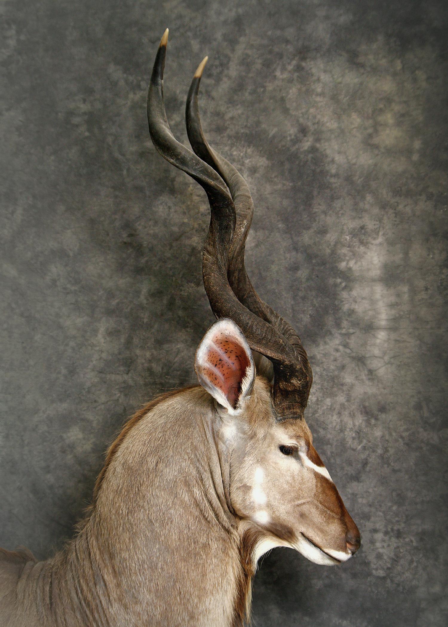 19 Kudu