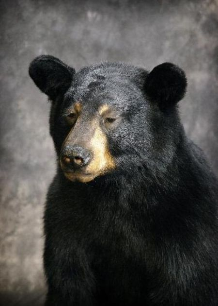 61 American Black Bear