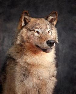 148-coyote