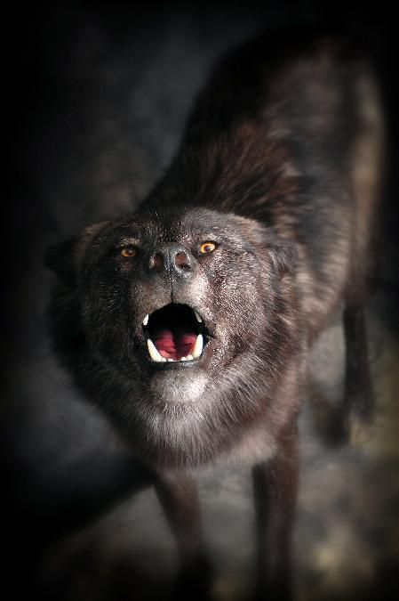 22 Black Wolf Howling