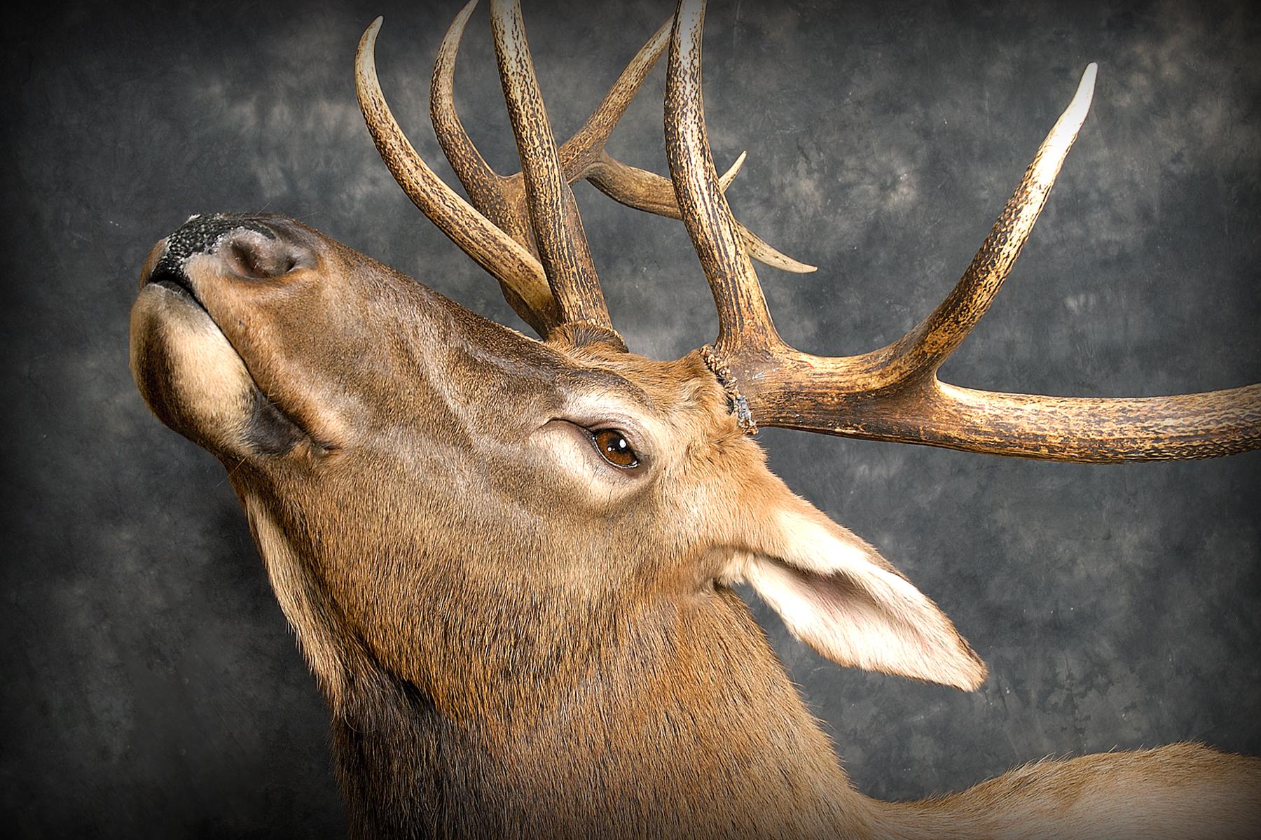 12 Wipiti | Elk