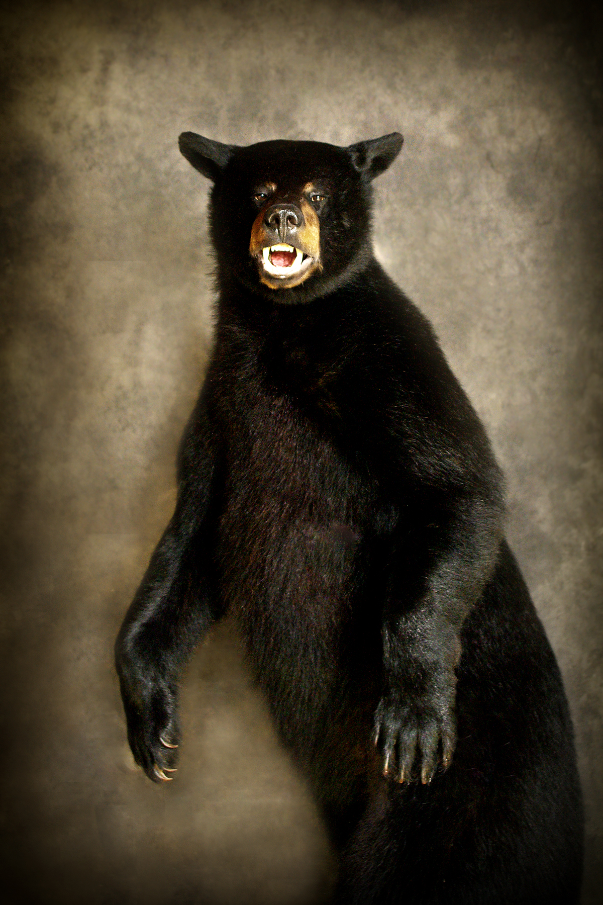 46 American Black Bear