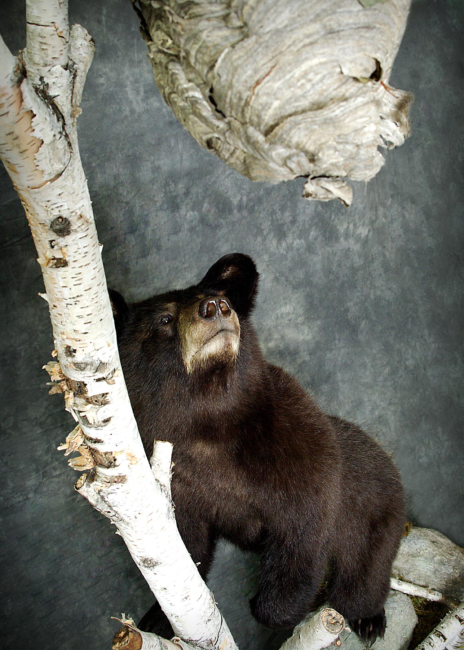 31 American Black Bear