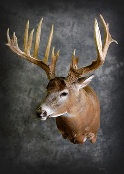 14 Whitetail Deer