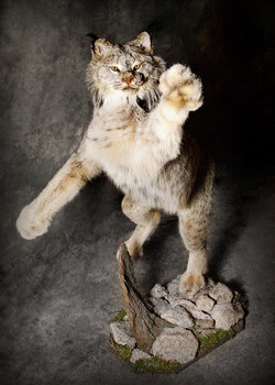 13 Lynx