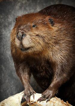 51 Beaver