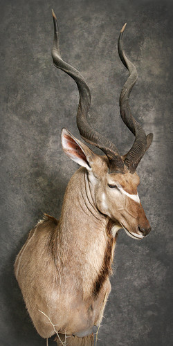 20 Kudu
