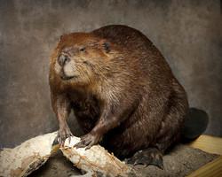 50 Beaver