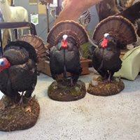 11 Turkeys