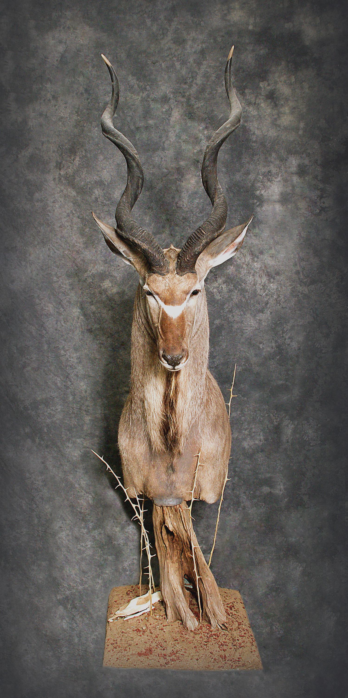 35 Kudu