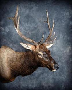 212-elk-shoulder-mount