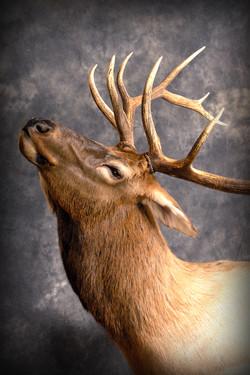 11 Wipiti | Elk