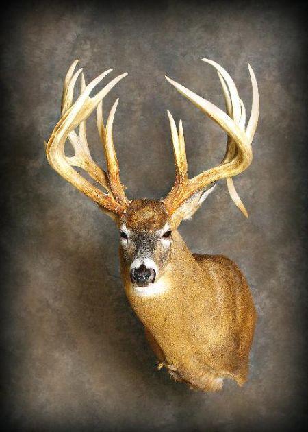 16 Saurdorff Buck