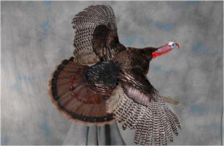 12 Wild Turkey