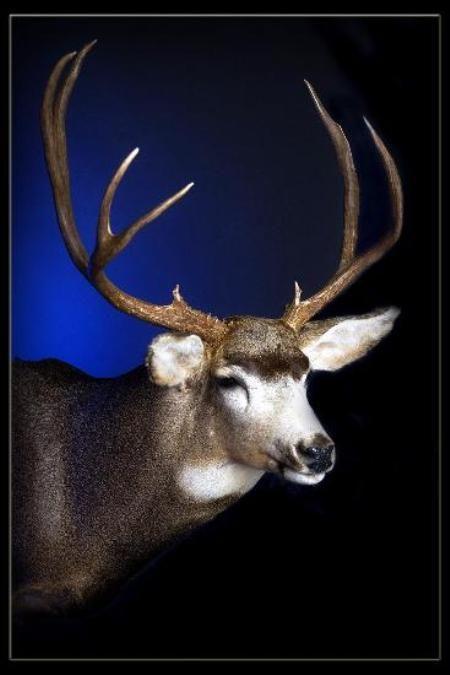 35 Colorado Mule Deer