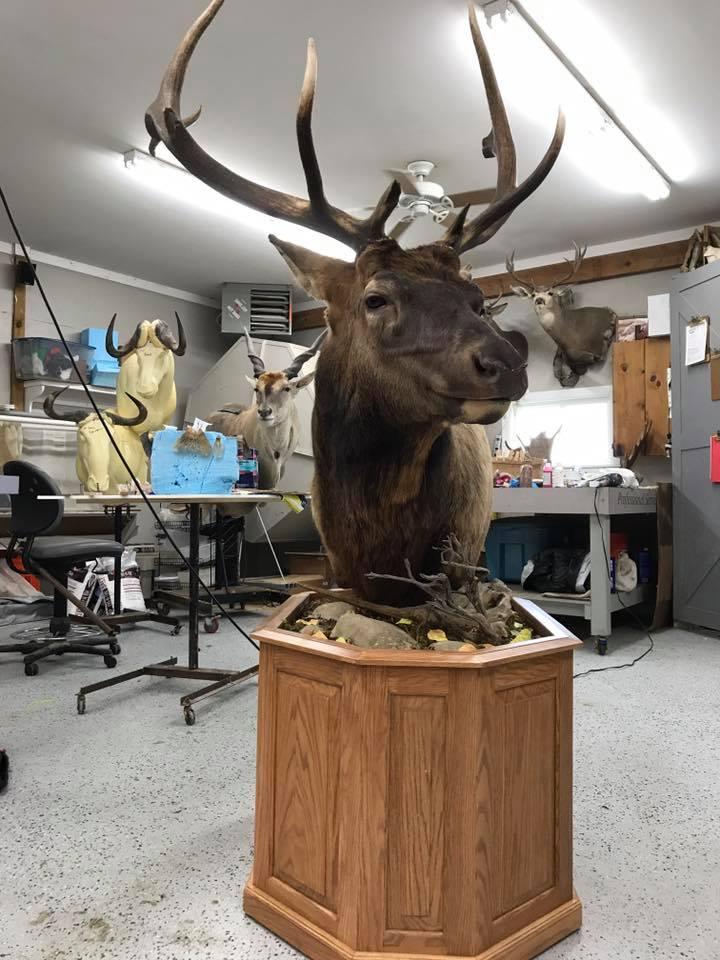 23 Michigan Elk