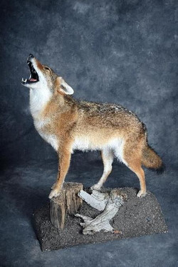 215-howling-coyote-standing