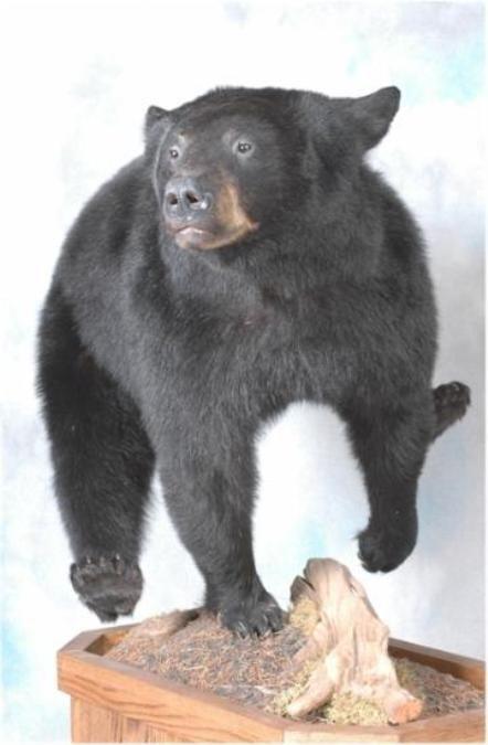 57 American Black Bear
