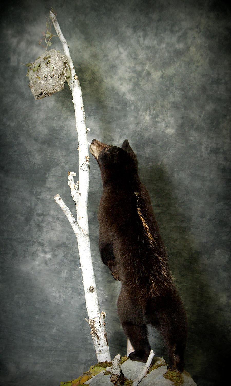 30 American Black Bear