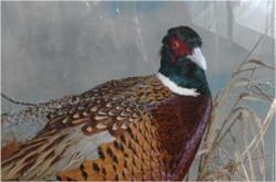 18 Pheasant