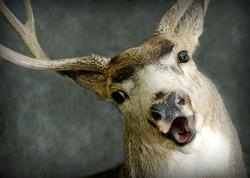 33 Mule Deer