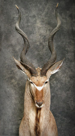 22 Kudu