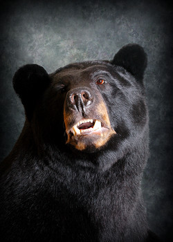 7 Michigan Black Bear