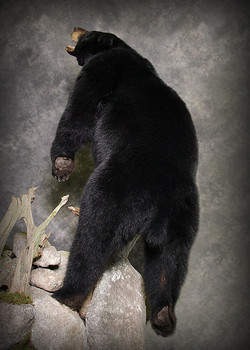 12 Coastal Black Bear
