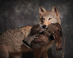 152-coyote-with-woodcock