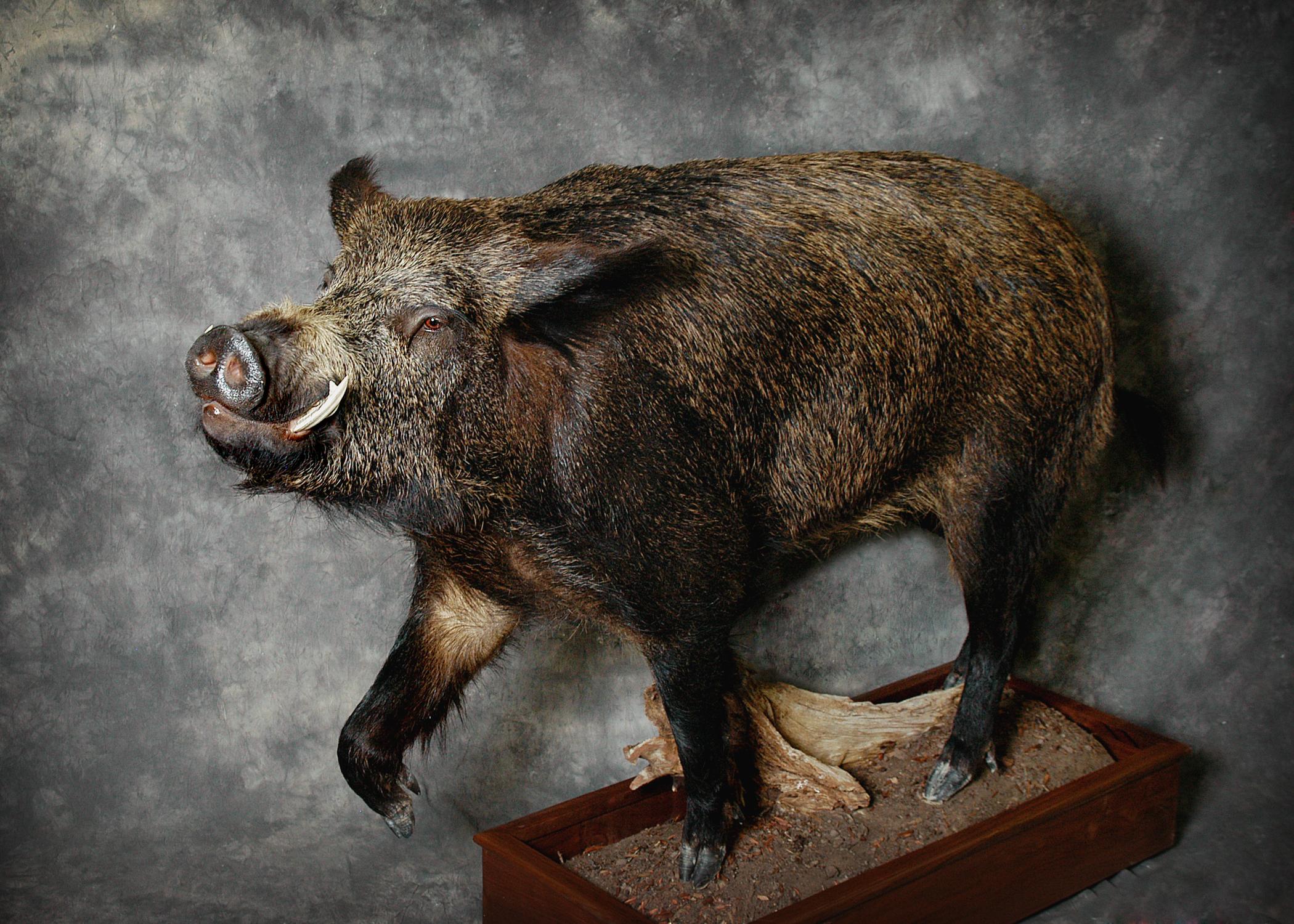 9 Wild Boar